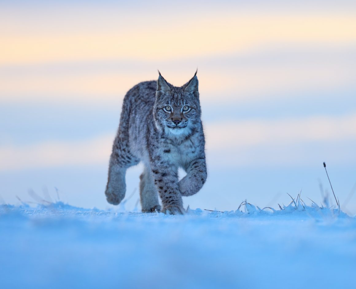Large carnivores and forest ecosystem management in Slovenia